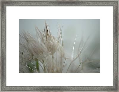 Goatsbeard Seedhead Framed Print