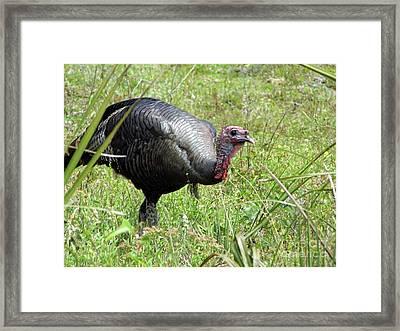 Gobbler Framed Print by D Hackett