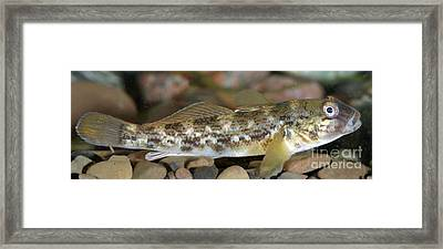 Goby Fish Framed Print