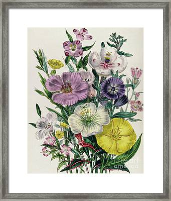 Godetia And Anothera Framed Print by Jane Loudon