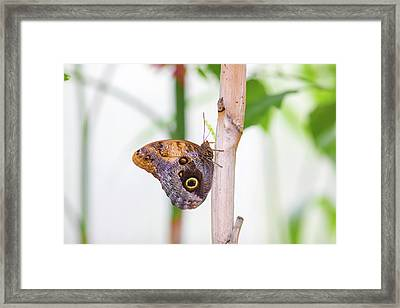 Framed Print featuring the photograph Gold And Brown Butterfly by Raphael Lopez