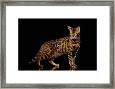 Gold Bengal Cat On Isolated Black Background Framed Print