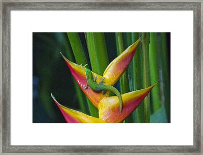 Gold Dust Day Gecko Framed Print by Sean Griffin