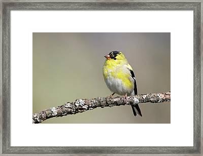 Gold Finch Framed Print