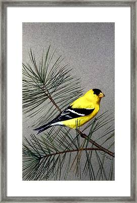 Gold Finch Framed Print by Frank Wilson
