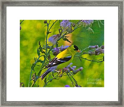 Gold Finches-11 Framed Print by Robert Pearson