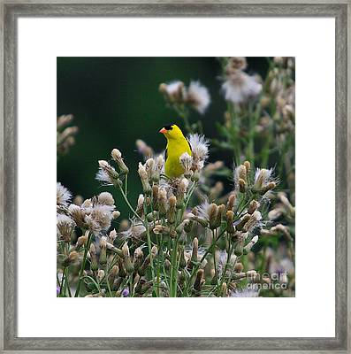 Gold Finches-12 Framed Print by Robert Pearson