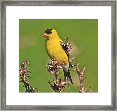 Gold Finches-6 Framed Print by Robert Pearson