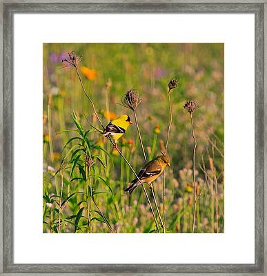 Gold Finches Framed Print by Robert Pearson