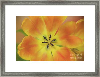 Gold Tulip Explosion Framed Print