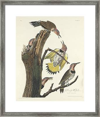 Gold-winged Woodpecker Framed Print by Rob Dreyer