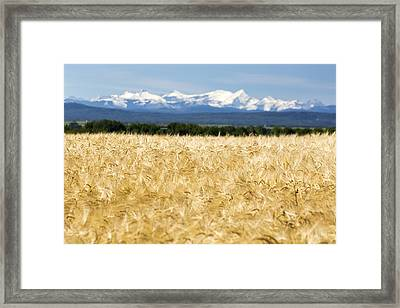 Golden Barley Field With A Row Of Trees Framed Print