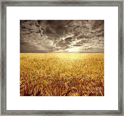 Golden Beautiful Wheat Farm Framed Print