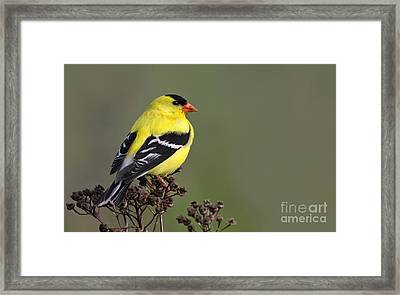 Golden Bird Framed Print by Mircea Costina Photography