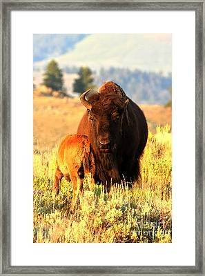 Golden Bison Portrait Framed Print