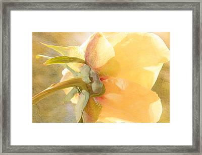 Golden Bowl Tree Peony Bloom - Back Framed Print
