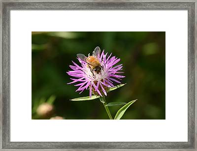 Golden Boy-bee At Work Framed Print by David Porteus