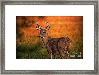 Golden Buck Framed Print
