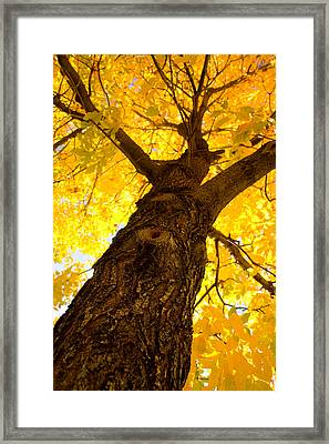 Golden Climb Framed Print