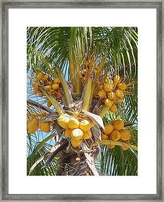 Golden Coconuts Key West Framed Print