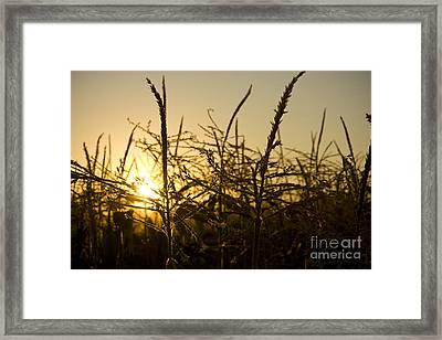 Golden Corn Framed Print