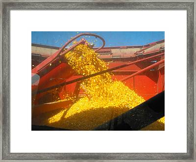 Golden Corn Framed Print
