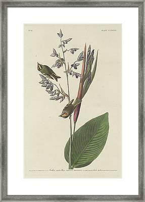 Golden-crested Wren Framed Print by Dreyer Wildlife Print Collections