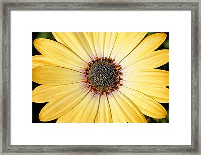 Golden Crown - Daisy Framed Print