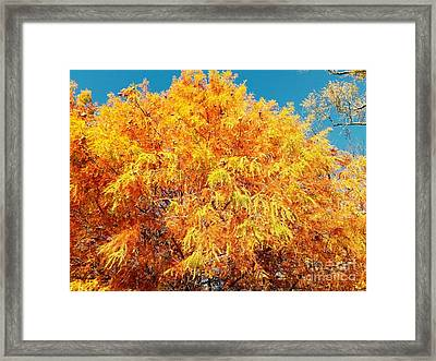Golden Cypress  Framed Print by Scott D Van Osdol