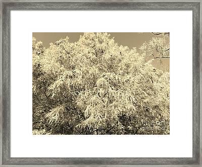 Golden Cypress - Sepia Framed Print by Scott D Van Osdol