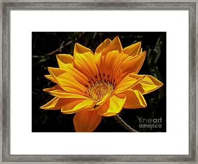 Golden Daisy Framed Print
