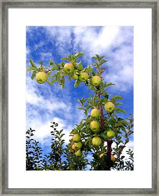 Golden Delicious Apples Framed Print by Will Borden