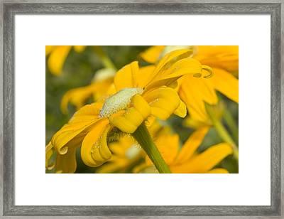 Golden Dream Framed Print by Barbara  White