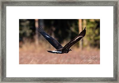 Framed Print featuring the photograph Golden Eagle Flying by Torbjorn Swenelius