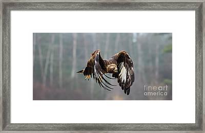 Golden Eagle - Juvenile Framed Print by CJ Park