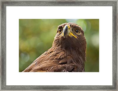 Golden Eagle Portrait Framed Print by Peter J Sucy