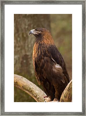 Framed Print featuring the photograph Golden Eagle Resting On A Branch by Chris Flees