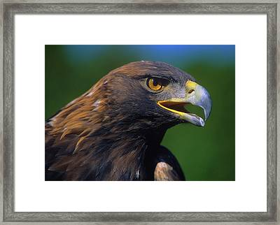 Golden Eagle Framed Print by Tony Beck