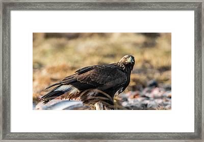 Golden Eagle's Glance Framed Print by Torbjorn Swenelius