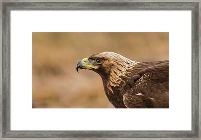 Golden Eagle's Portrait Framed Print