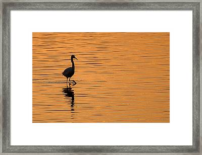 Golden Egret Framed Print by Paul Neville