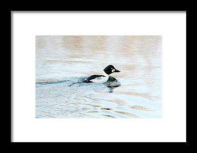 Goldeneye Framed Prints