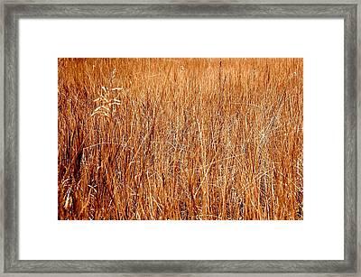 Golden Field Framed Print by Caroline Clark