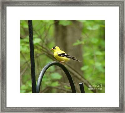 Golden Finch Framed Print by Rand Herron