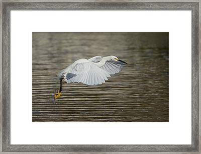 Framed Print featuring the photograph Golden Flight by Fraida Gutovich