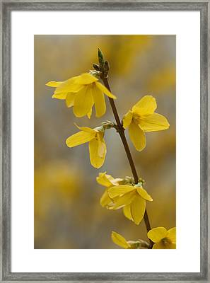 Golden Forsythia Framed Print