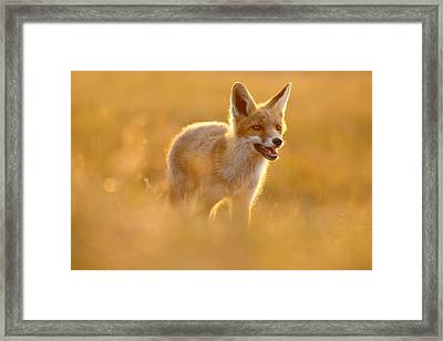 Golden Fox - Backlit Juvenile Red Fox On  A Summer Day Framed Print by Roeselien Raimond