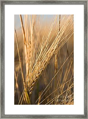 Golden Grain Framed Print