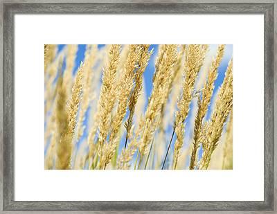 Framed Print featuring the photograph Golden Grains by Christi Kraft