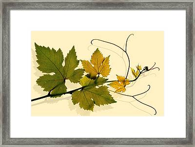 Golden Grape Vine Framed Print by Marsha Tudor